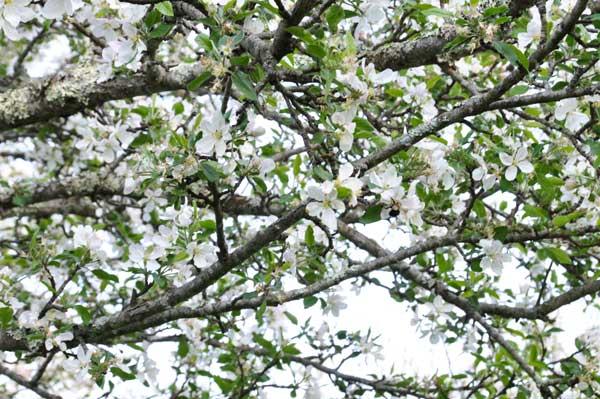 blooming_apple_tree